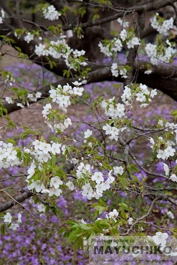 桜と大根花