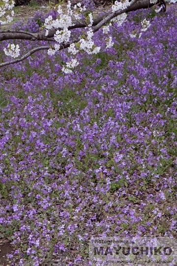 薄紫の絨毯