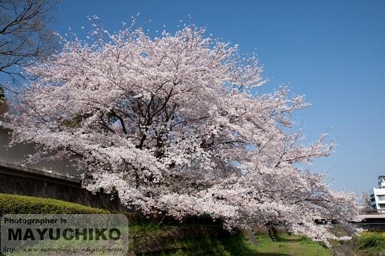 野川の桜(満開)