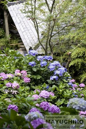 長谷寺-紫陽花