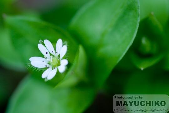 小さくてかわいい白い花