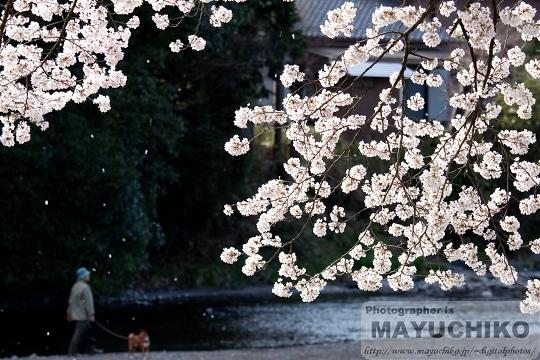 散歩道の舞い桜