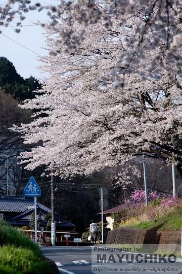 桜の咲く帰り道