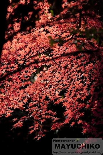 真っ赤な楓