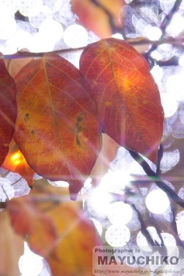 キラキラ葉